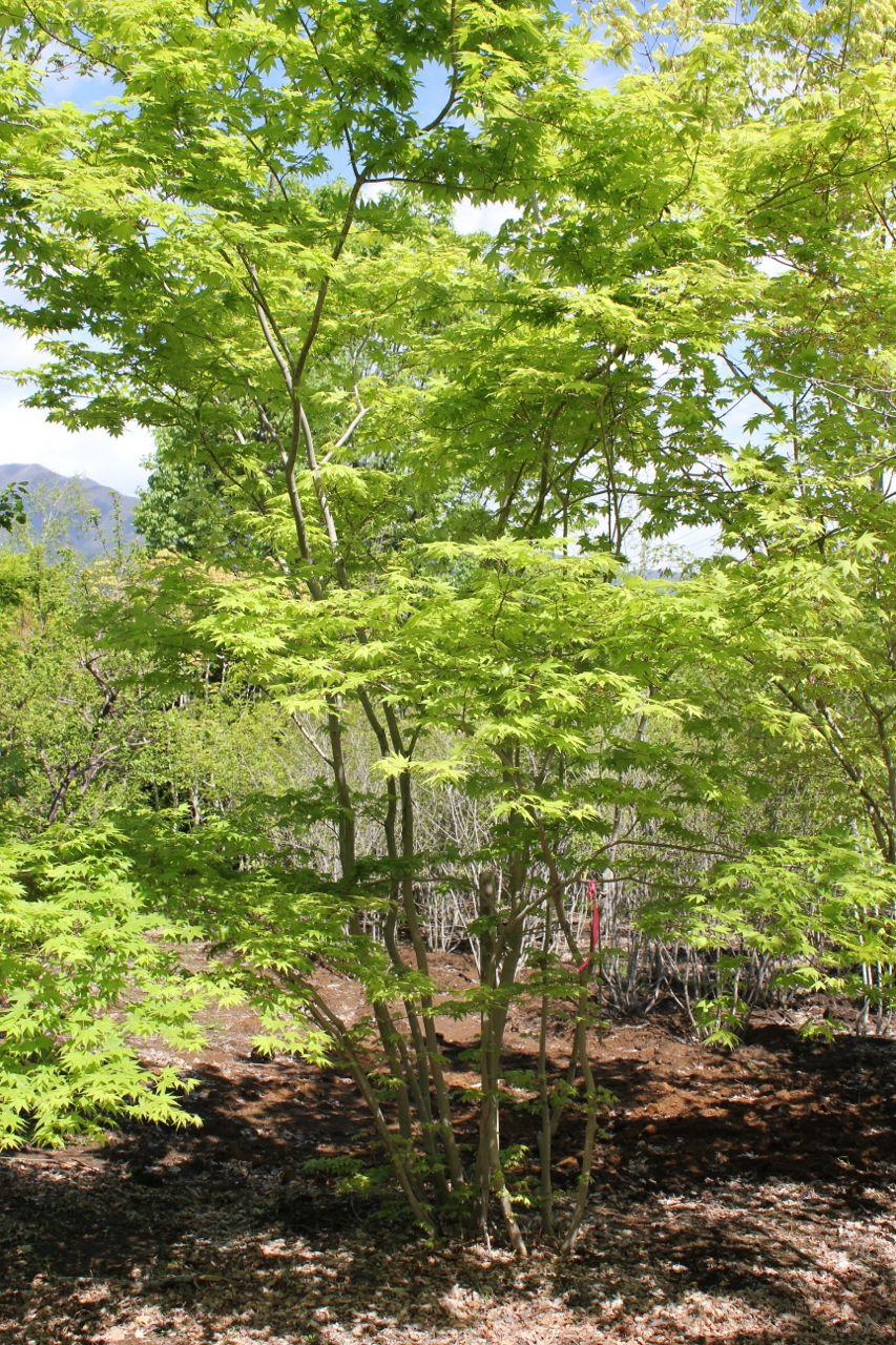 和室から見える庭木に鮮やかな紅葉